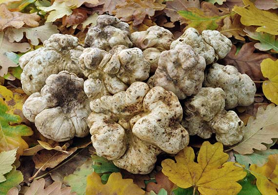 white truffles (tuber magnatum) on fallen leaves